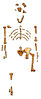"Reconstruction of the fossil skeleton of ""Lucy"" the Australopithecus afarensis.jpg"