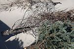 Recycled Christmas trees help reinforce dunes at Fort Macon 130107-M-EY704-069.jpg