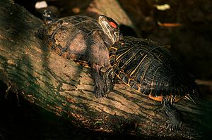 Trachemys - Two red-eared slider turtles late afternoon at Captain Falcom Park in Corpus Christi,.