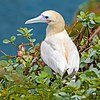 Red-footed booby at Kīlauea Point National Wildlife Refuge.jpg