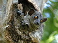 Red-tailed Sportive Lemur, Kirindy, Madagascar 2.jpg