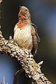 Red-throated Wryneck, Jynx ruficollis at Rietvlei Nature Reserve, Gauteng, South Africa (14750851785).jpg