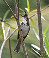 Red-whiskered-bulbul-from-kottayam-kerala-1.jpg