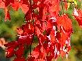 Red maple (4175117279).jpg