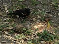 Red winged blackbirds with Inca dove.jpg