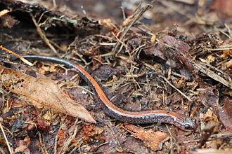 Red-backed salamander - Red-backed salamander in its habitat