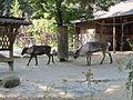 Reindeer at Vienna Zoo (6363282751).jpg