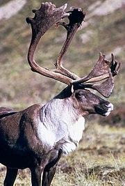 Large male Reindeer
