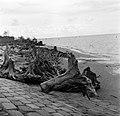 Resten van bomen uit het oerwoud aan de kust van de Nickeriepolder, Bestanddeelnr 252-5575.jpg
