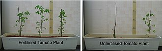 Fertilizer - Six tomato plants grown with and without nitrate fertilizer on nutrient-poor sand/clay soil. One of the plants in the nutrient-poor soil has died.