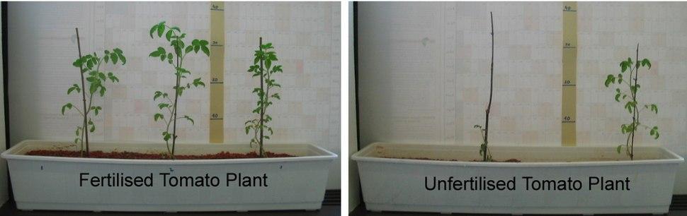 Reuse of urine demonstration - fertilised and not fertilised tomato plant experiment (3617543234)