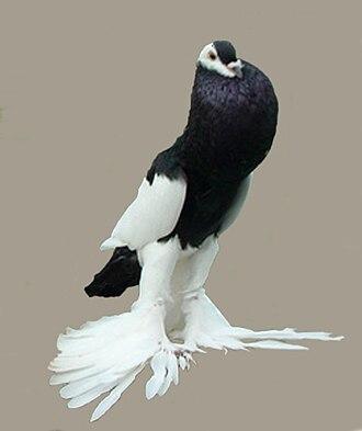 Reverse-wing Pouter - A black Reverse-wing Pouter