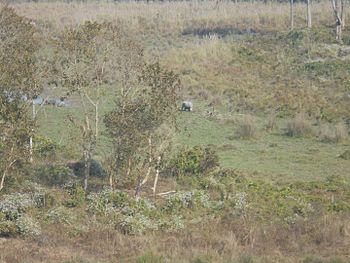Rhino ant gorumara.jpg