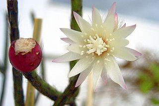 <i>Rhipsalis pilocarpa</i> species of plant