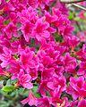 Rhododendron 'Mello-Glo' (Arnold hybrid azalea) (27254491320).jpg