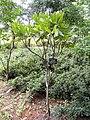 Rhododendron annae - Kunming Botanical Garden - DSC02823.JPG