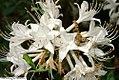 Rhododendron atlanticum 3zz.jpg