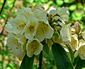 Rhododendron yiliangense 1.jpg