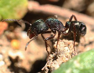Green-head ant species of insect