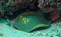 Ribbontail Stingray (Taeniura lymma) (8503111528).jpg