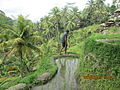 Rice terraced fields in Ubud.JPG