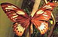 Richmond Birdwing, female, ROM.jpg