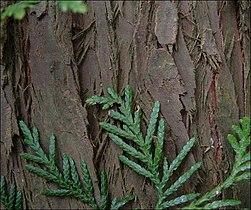 Riesenlebensbaumstmrp.jpg