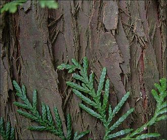 Thuja - T. plicata bark, foliage
