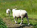 Rilhac-Lastours agneau et brebis.jpg