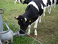 Rind nutzt Weidetränke.jpg