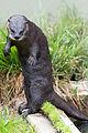 River Otter Standing (22151992486).jpg
