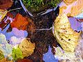 Rivulogammarus pulex Vogelsberg.jpg
