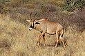 Roan antelope (Hippotragus equinus) male walking.jpg