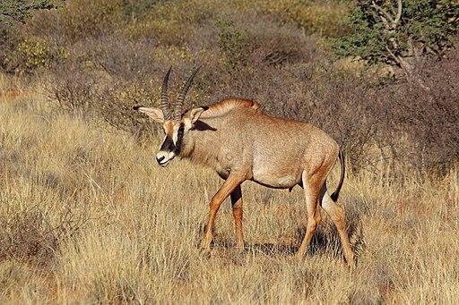 Roan antelope (Hippotragus equinus) male walking