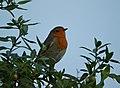 Robin (30561444905).jpg