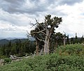 Rocky Mountains Bristlecone Pine, Mount Goliath, Colorado (2).jpg