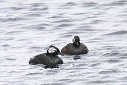 Rollandia rolland -Falklands-8.jpg
