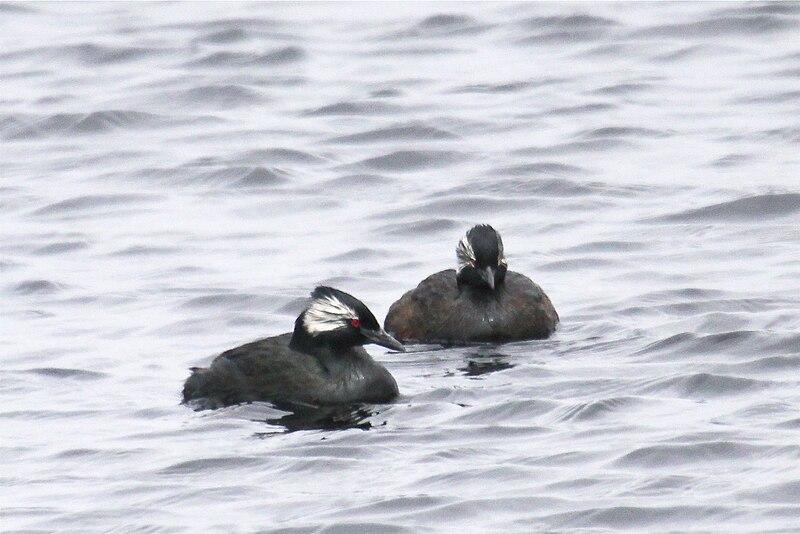 Ficheiro:Rollandia rolland -Falklands-8.jpg