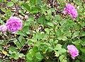 Rosa 'Petite Leonie'.jpg