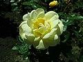 Rosa Arthur Bell 2019-05-29 4134.jpg