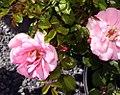 Rosa Baby Blanket 7zz.jpg