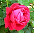 Rosa Dame de Coeur 2.jpg