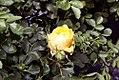 Rosa foetida Persian Yellow 0zz.jpg