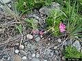 Rosa rugosa stem (15).jpg