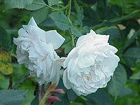 Rosa sp.96.jpg