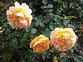 Rosales - Rosa cultivars - kew.jpg