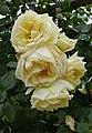 Rosarium Baden Rosa 'Elfe' Tantau 2000 01.jpg