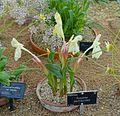 Roscoea cautleyoides - RHS Garden Harlow Carr - North Yorkshire, England - DSC01499.jpg