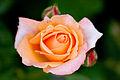 Rose, Looping - Flickr - nekonomania.jpg