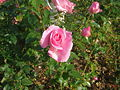 Rose deRennes ADAM Liffré I&IV 1992.JPG